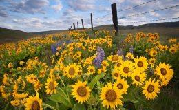 du lịch Đà Lạt ngắm cánh đồng hoa hướng dương